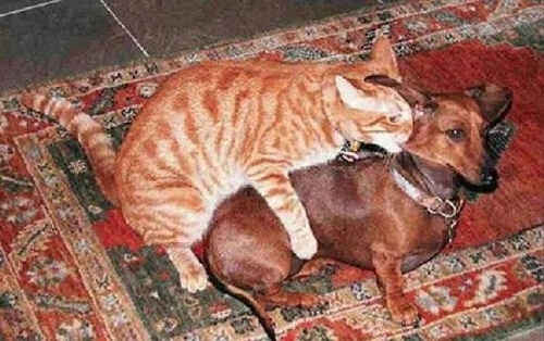 Cats and Dogs Humping